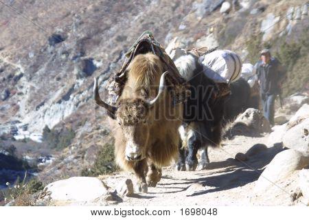 Himalaya Yaks