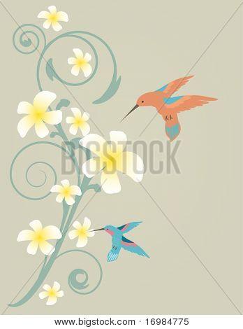Two hummingbirds flying near frangiapani flowers