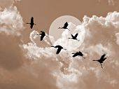 stock photo of shadoof  - silhouette flying cranes on cloudy background - JPG