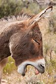 pic of jack-ass  - Yawning Wild Burro Donkey in Nevada Desert - JPG