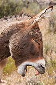 stock photo of burro  - Yawning Wild Burro Donkey in Nevada Desert - JPG