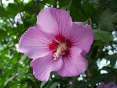 stock photo of rose sharon  - closeup of purple rose of sharon - JPG