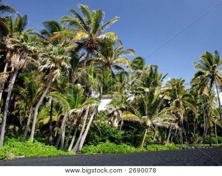 Palm Trees On A Black Sand Beach