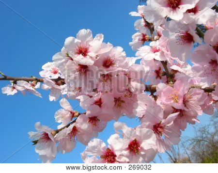 Cherry-tree Flowers