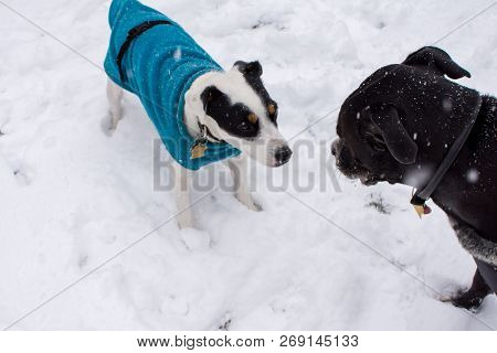 poster of Cute Dogs Playing In The Snow Wearing Warm Winter Sweaters, Happy Pets Playing Outdoors In Winter Cu