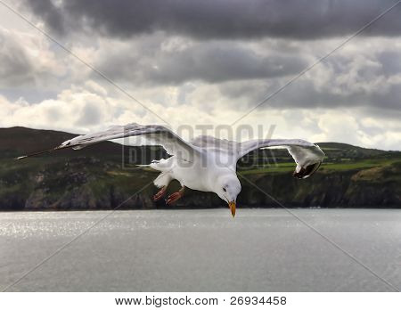 Flying sea gull