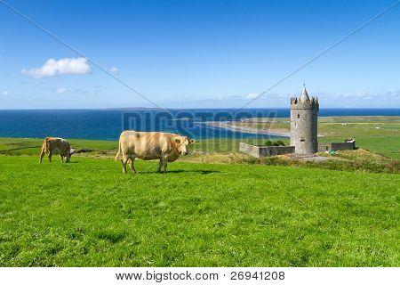 Doonagore castle with Irish cows near Doolin - Ireland