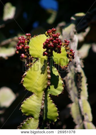 Transvaal candelabra tree (Euphorbia cooperi) in South Africa - fruit closeup