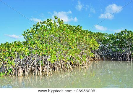 Mangrove vegetation in Sian Ka an Biosphere Reserve, Tulum, Mexico