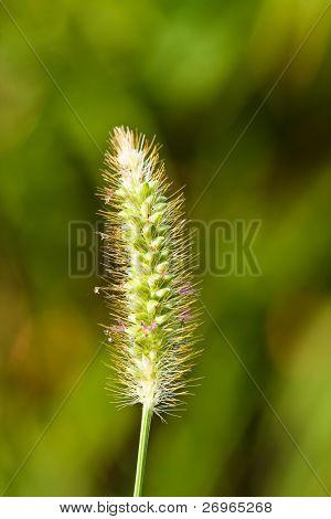Grün Weizen Pflanze Makro