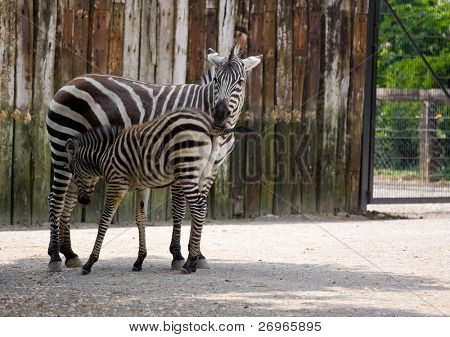 Zebra with its baby