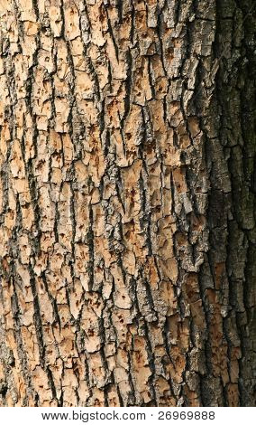 Textura de casca de árvore