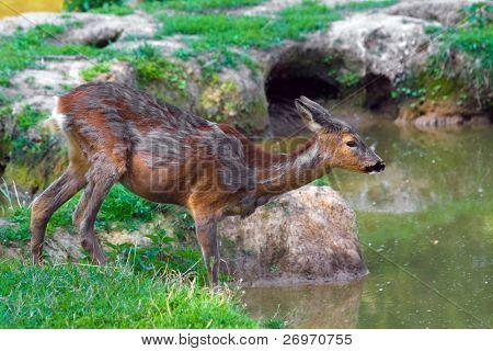 Doe deer near a pond
