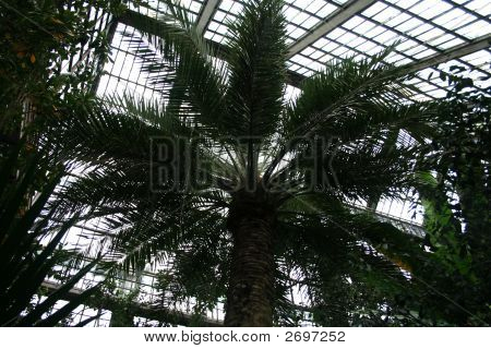 Palm In Greenhouse