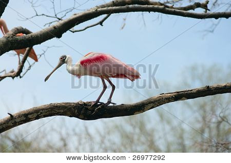 Spoonbill Bird On A Limb