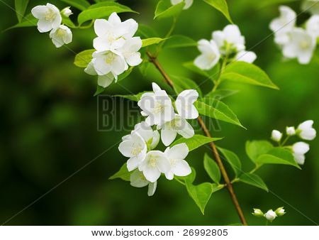 The image of a beautiful blossoming branch of jasmine