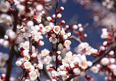 picture of apple tree  - A blooming branch of apple tree in spring - JPG