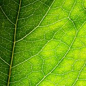stock photo of photosynthesis  - green leaf texture - JPG
