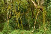 stock photo of epiphyte  - Lianas in Africa - JPG