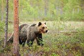 Wild Brown Bear Walking Free In The Finnish Taiga. poster