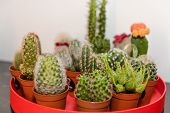 Small Cacti Planted In Pots. Spiny Plants In Pots. Needles On Cacti. poster