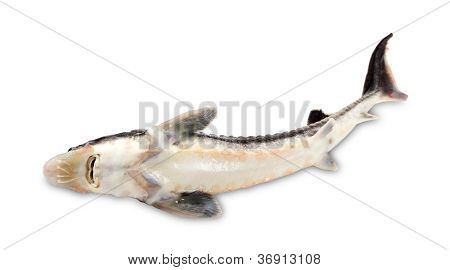 Dead Sterlet Fish On White Background.