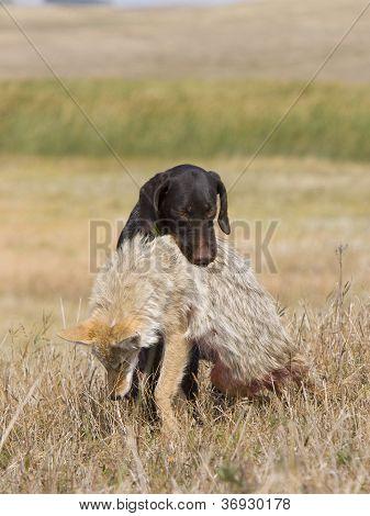 Deutsch Drahthaar with Coyote
