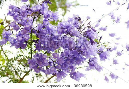 Flowers of jacaranda