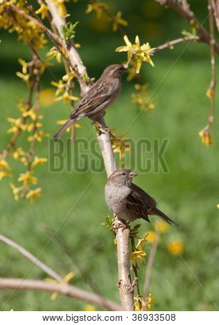 Sparrows On A Forsythia