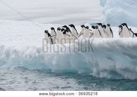 Adelie Penguins Colony Going To Jump In The Water From Iceberg, Antarctica