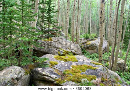 Colorado Forest
