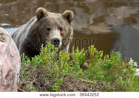 Brown Bear Hiding