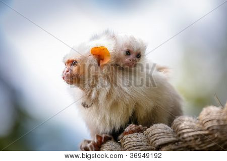 Silvery Marmosets Mother And Baby