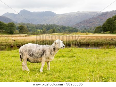 Sheep In Front Of Langdale Pikes In Lake District