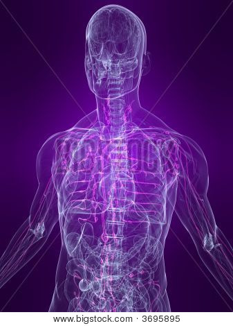 Highlighted Lymphatic System