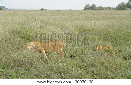Savannah Scenery With Adult And Young Lion