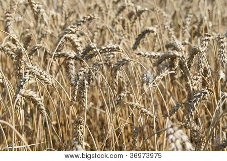 View in a wheatfield