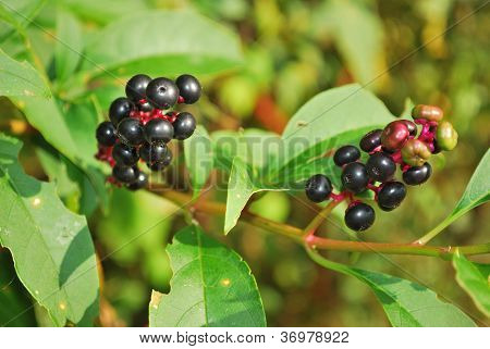 Two Chokeberry clusters