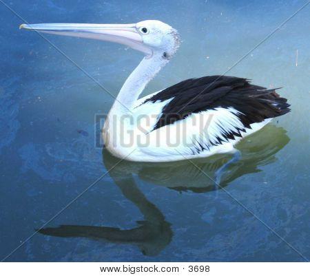 Pelican In Oily Water