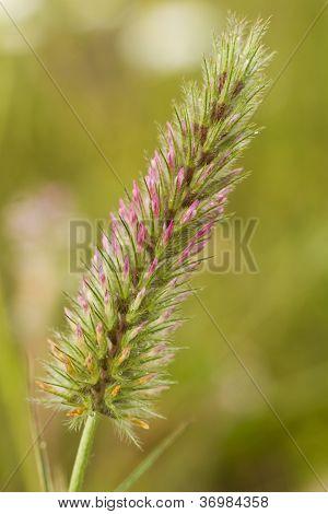 Trifolium Flower