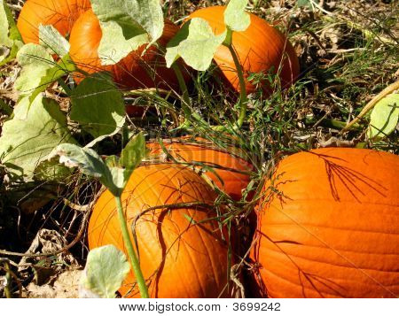 Pumpkins In The Patch