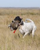 picture of english setter  - English Setter retrieving a Sharptailed Grouse in North Dakota - JPG