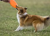 stock photo of sheltie  - Playful young female sheltie drawing a frisbee - JPG