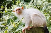 stock photo of marmosets  - Silvery marmoset  - JPG