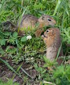stock photo of gopher  - Family gophers on the green grass wildlife - JPG