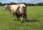 stock photo of charolais  - White Charolais cow with crossbreed Brangus calf in deep pasture - JPG