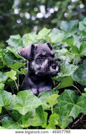 Mini Schnauzer In English Ivy