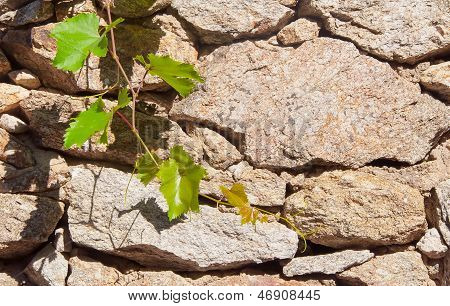 Green Branch Of Grapes On The Background Wall Of Rough Stone.