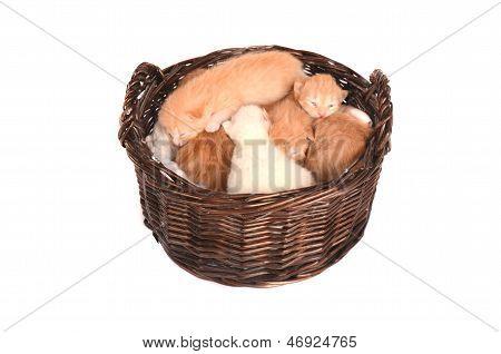 Newborn Orange And White Kittens In A Basket.