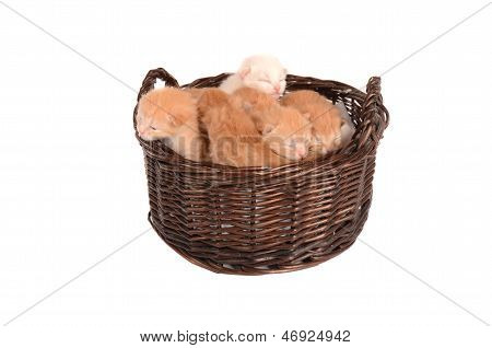 Ginger Kittens In A Basket